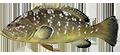 Epinephelus emarginatus